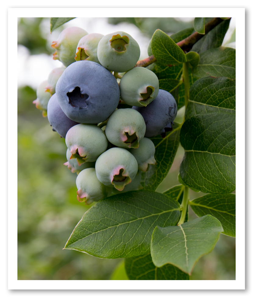 Home - Indian Head Farm - Pick Your Own Blueberries