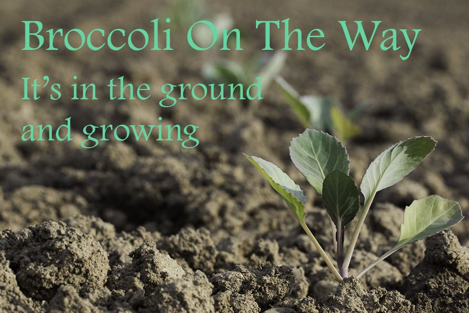 Broccoli is in the ground and on the way